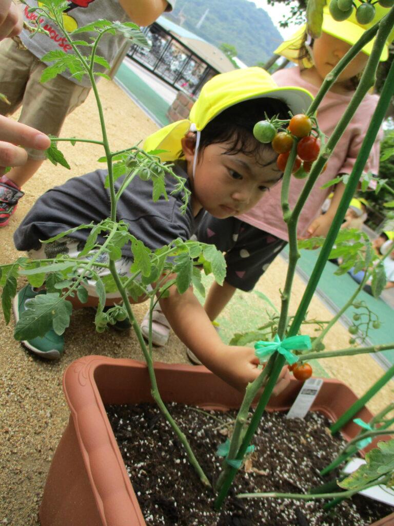 みんなで育てたトマトを収穫!