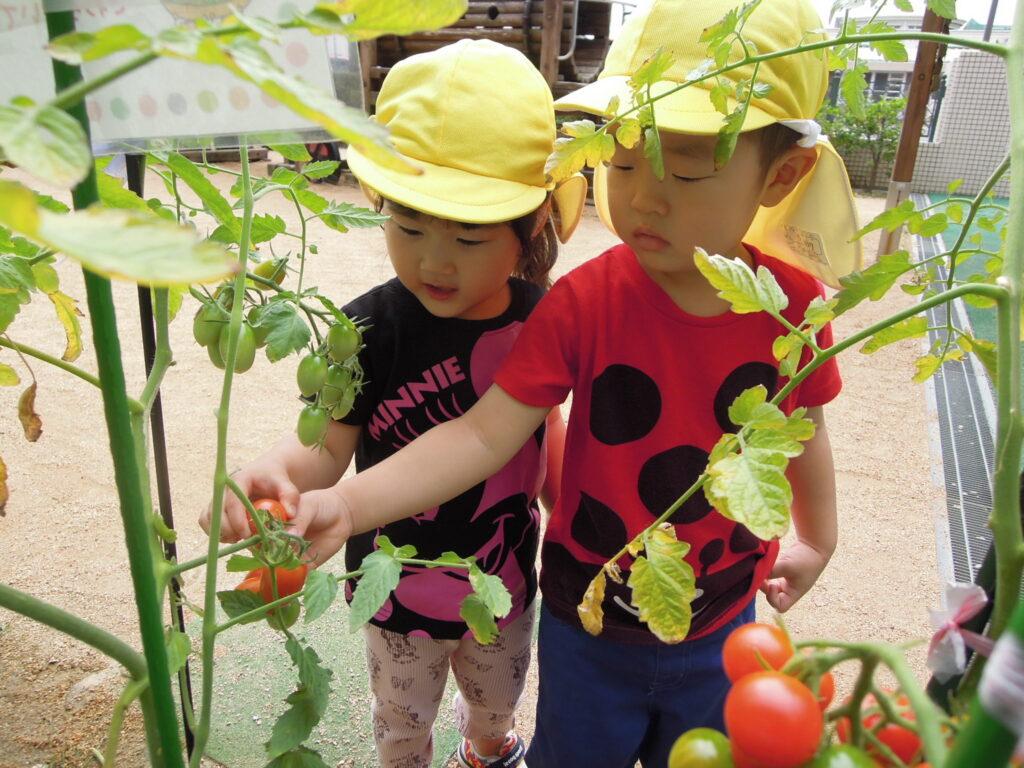 っ赤になったトマトを収穫